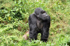 gorillas-474728_1920
